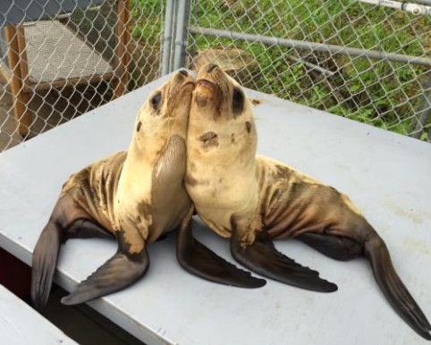Baby Sea Lions