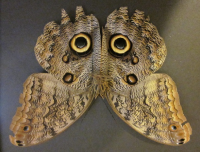 Owl Butterfly Eye Markings