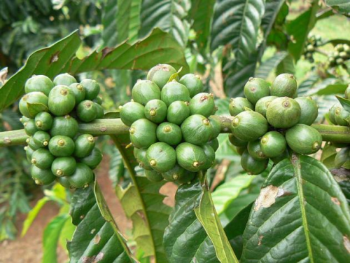 pure green coffee beans'