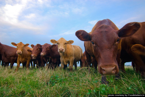 Grass Fed Cows Are Healthier'