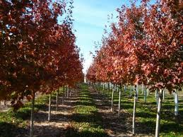 Red Oak Trees