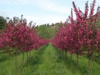 Pink Crab Apple