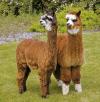 Alpaca Owners Association'